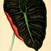 Les plantes a feuillage coloré. v.1.