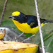 Thick-billed Euphonia - Photo (c) Peter Bono, some rights reserved (CC BY-NC-SA)