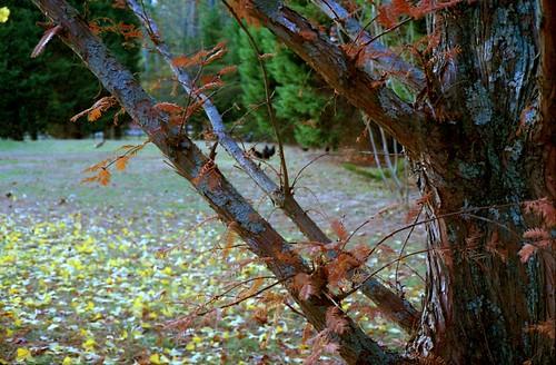 Metasequoia in Autumn