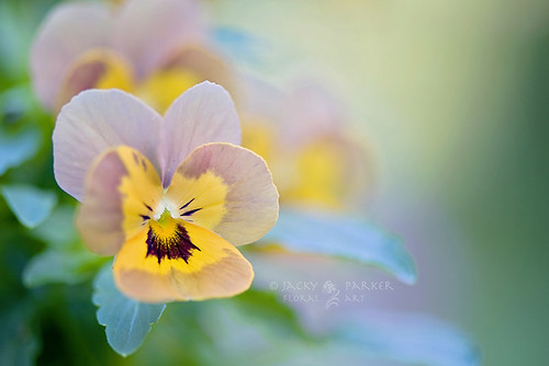 Little Violas