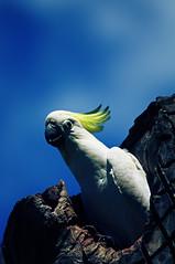 parrot(0.0), cockatoo(1.0), animal(1.0), wing(1.0), pet(1.0), sulphur crested cockatoo(1.0), fauna(1.0), blue(1.0), beak(1.0), bird(1.0),