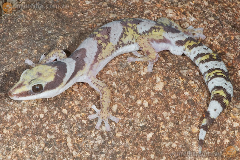 Northern velvet gecko (Oedura castelnaui)