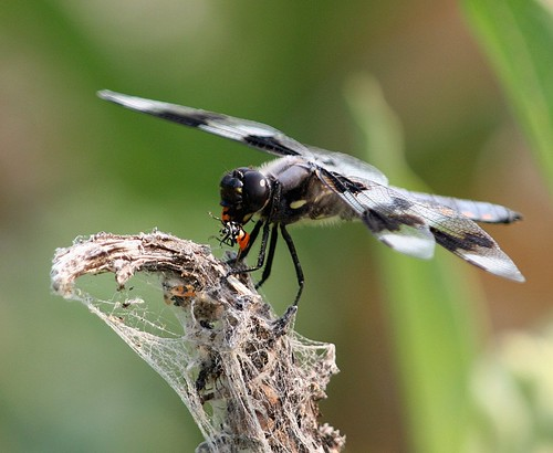 1dragonfly ladybug dave harper oakley