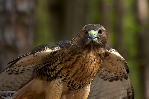 Red Tailed Hawk 1226