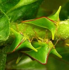 Treehopper, Alchisme sp., Membracidae