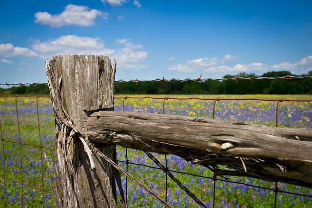 Bluebonnets, Spring 2012
