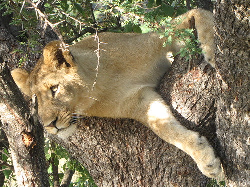 Lion cub in a tree by CharlesRay2010