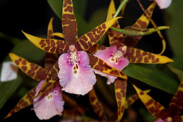 Orquídea Miltassia