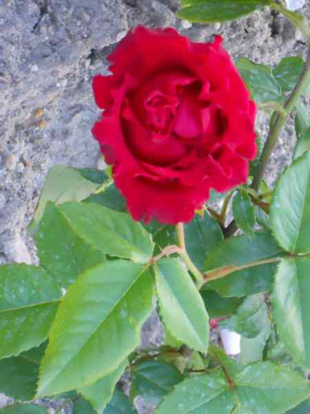 Rosa grandiflora 'Roundelay' v 1