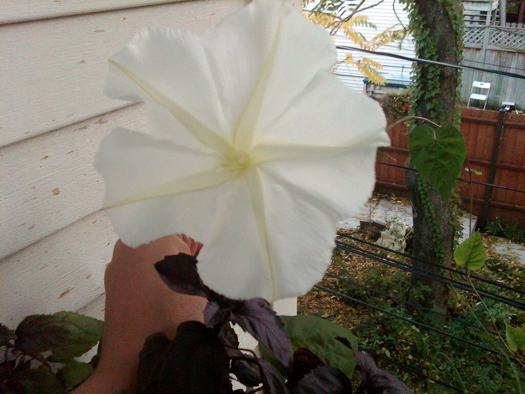 moonflower!