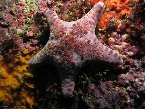 Velvet Sea Star