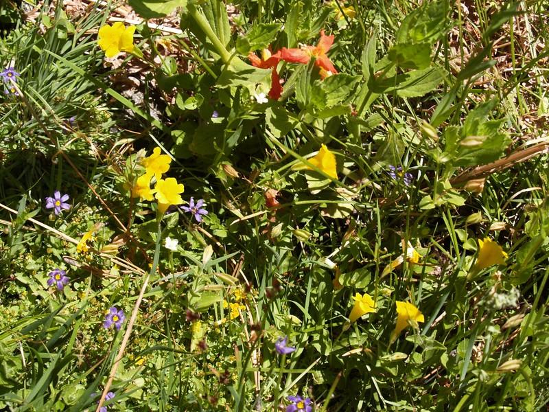 Summer wildflowers at Strawberry Cienega