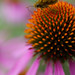 Small photo of Skipper feeding on the Echinacea