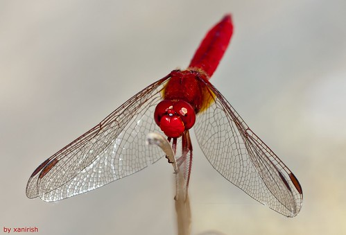 Crocothemis erythraea, macho, male