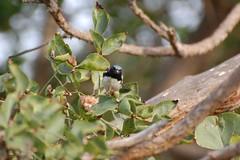 Black-throated Blue Warbler (Setophaga caerulescens)