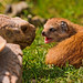 Mongoose baby vs tortoise by Tambako the Jaguar