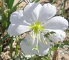 Wyoming_Oenothera