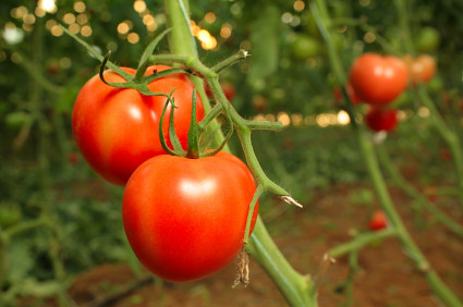 6301991920 1eddef135c What Tomatoes Grow Best In A Greenhouse?