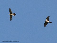 Sharp-shinned Hawk vs American Kestrel