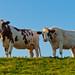 Twee roodbonte koeien - Two red spotted cows side by side by RuudMorijn-NL