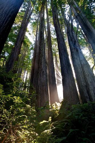 tree sunrise redwood sunray