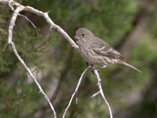 House Finch female 20111112