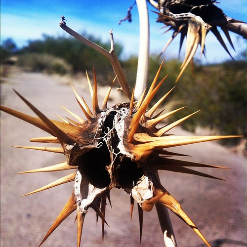 Oak-leaf datura seedpod