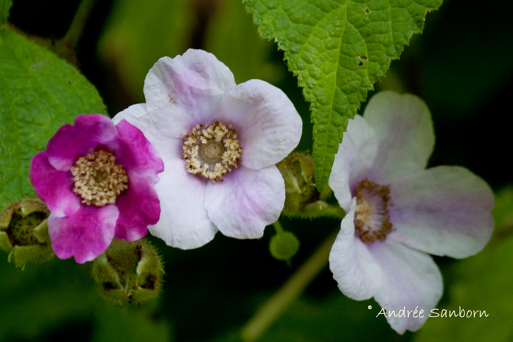 Flowering Raspberry (Rubus odoratus)-23.jpg