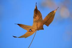 leaf, sunlight, nature, macro photography, close-up, blue, sky,