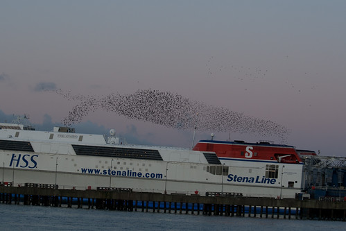 Roosting flight of starlings