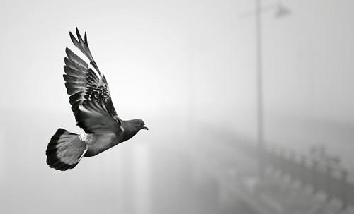 無料写真素材, 動物 , 鳥類, 鳩・ハト, モノクロ