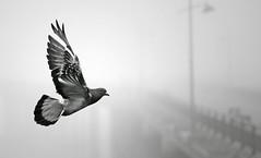 [フリー画像素材] 動物 2, 鳥類, 鳩・ハト, モノクロ ID:201111280800