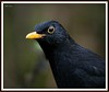 Blackbird up close and personal by PHILIP.ISOM