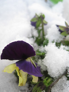 first pansies
