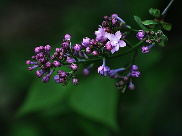 March Lilacs