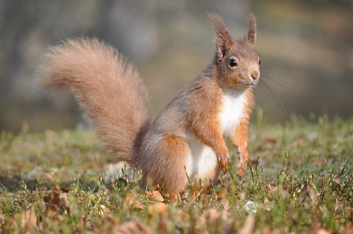 Red squirrels in the Cairngorns 7
