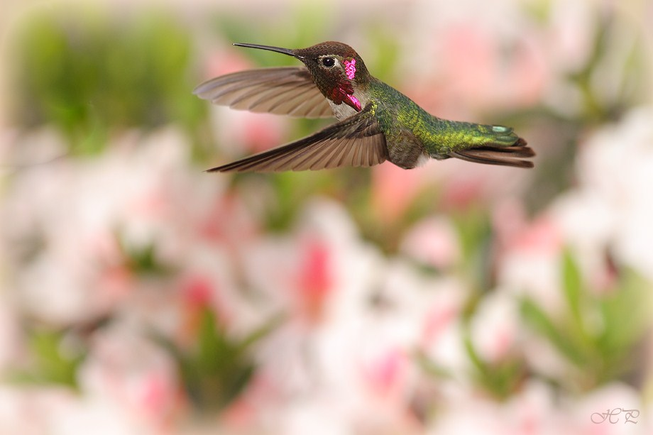 Anna's Hummingbird 032012-4