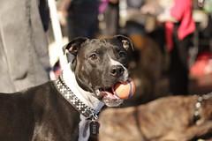 animal(1.0), pit bull(1.0), dog(1.0), pet(1.0), mammal(1.0), american pit bull terrier(1.0), staffordshire bull terrier(1.0), terrier(1.0),