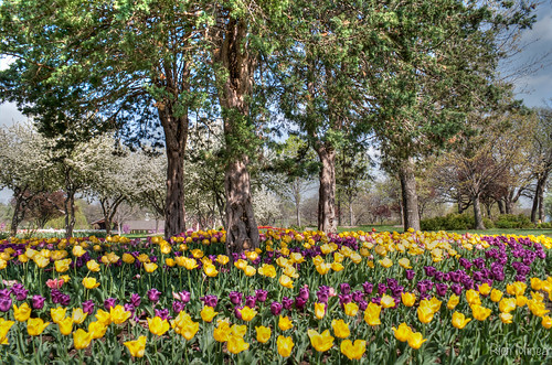 flower tulips background kansas topeka hdr lakeshawnee