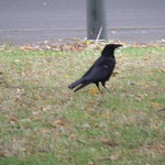 Crows on Church Road in Edgbaston