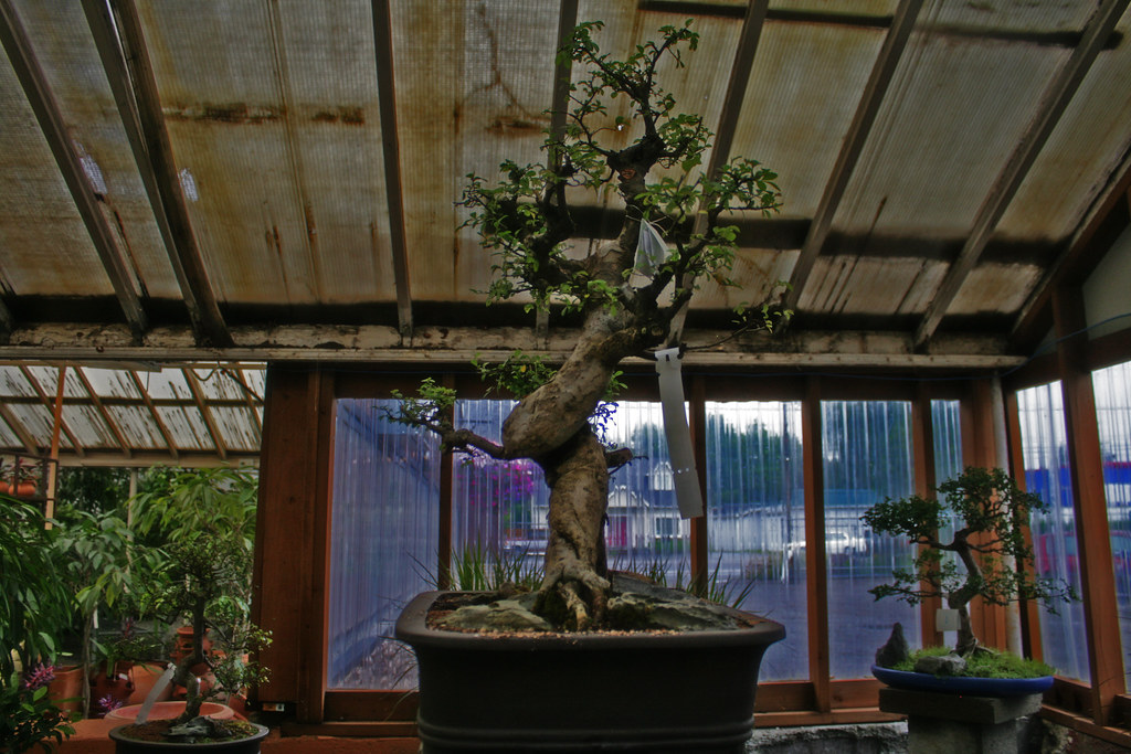 1000 dollar  bonsai