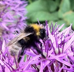 pollinator, honey bee, pollen, flower, purple, invertebrate, lavender, membrane-winged insect, fauna, bee, bumblebee, petal,