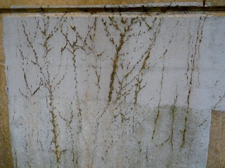 remnants of a vine on a concrete wall
