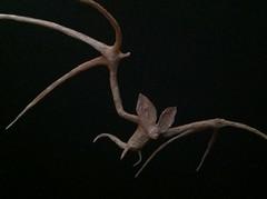 Murciélago (Vampire bat) -  Paper Vampire 1 Photos 356