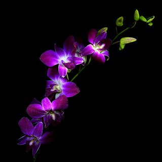 REACHING FOR THE SKY, THE PURPLE ORCHIDS...