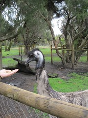 emu, zoo, recreation, ostrich, outdoor recreation, flightless bird, fauna, bird, ratite,