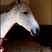 A White Horse Portraid by baby7
