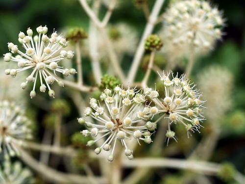 Fatsia japonica Flowers