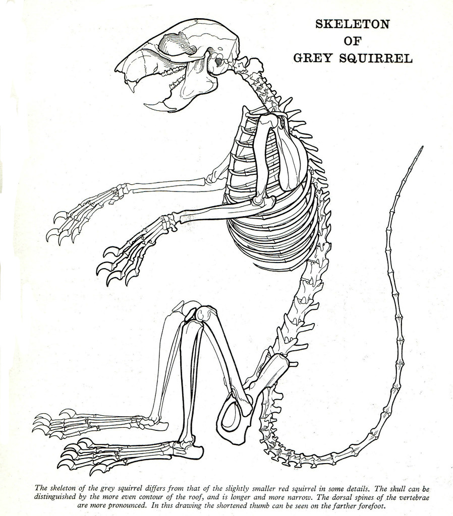 Outstanding Squirrel Skeleton Diagram 8 15 Castlefans De Wiring Cloud Tziciuggs Outletorg