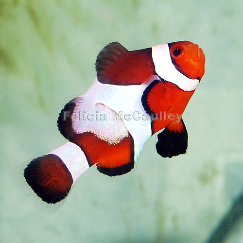 Sustainable Aquatics™ Fancy White Ocellaris Clownfish